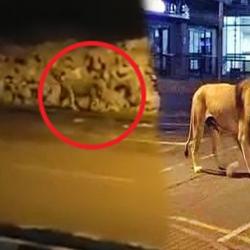 Lions taking a leisurely walk on Gujarat streets